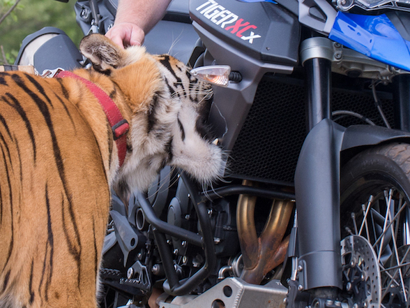 A Tiger vs a tiger – a Triumph takes on a big cat