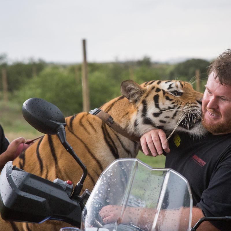 Tiger vs tiger kiss