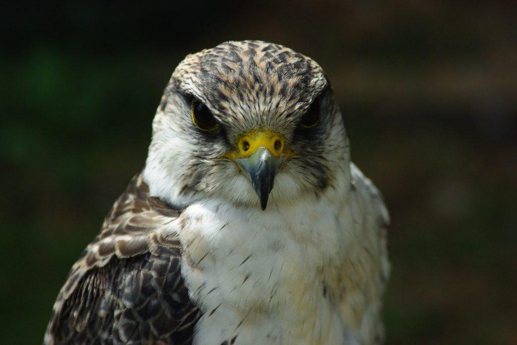 Suzuki Hayabusa Peregrine Falcon